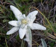 Bergrose (Parterre) - Ernen